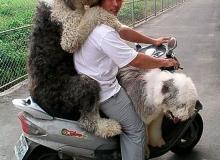 chien-moto-scoot