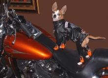 chien-biker_harley-davidson