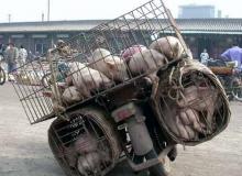 moto-Pig-cycle