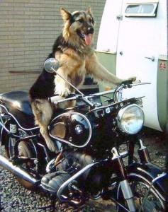 animaux et la moto
